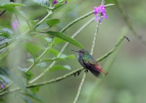 ハイバラエメラルドハチドリ2