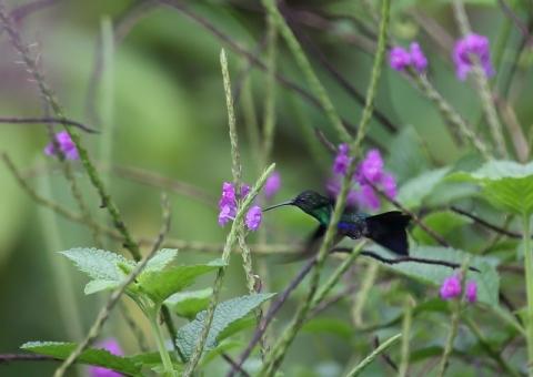 アオボウシモリハチドリ1