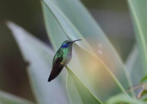 ミドリハチドリ