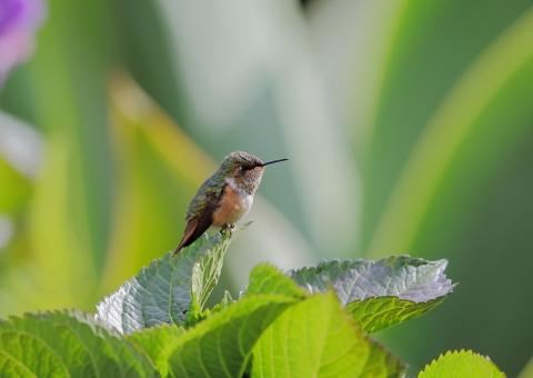 コスタリカノドジロフトオハチドリ