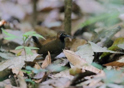 カオグロアリツグミ1