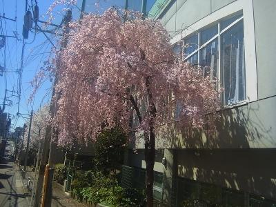 2014sakura1