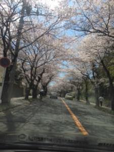 横須賀ハイランド 桜並木