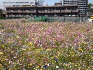 二俣川駅近く花畑