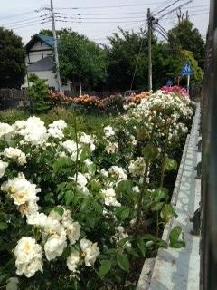 富士見ヶ丘学園 バラ1