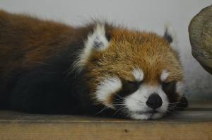 お昼寝するレッサーパンダ