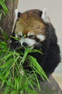 餌を食べるレッサーパンダ