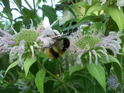 ベルガモットの花