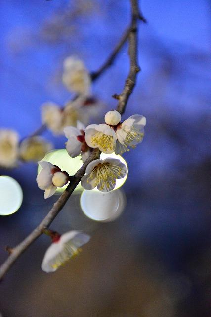 満開梅の花