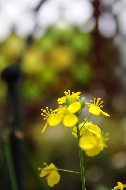 ナタネの花