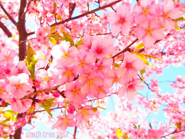 桜1ブログ用