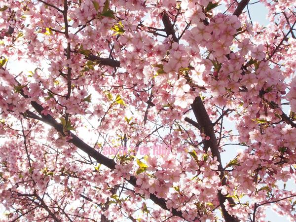 桜2ブログ用