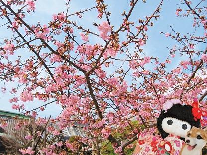 河津桜です