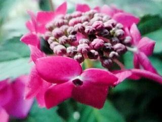 607山紫陽花