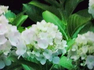 614紫陽花1