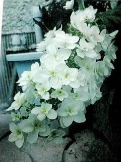614柏葉紫陽花