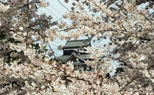 140405_松江城桜01