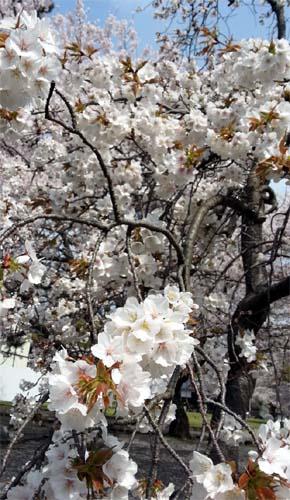 140405_松江城桜02
