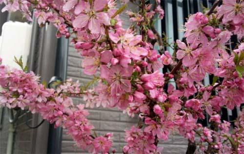 140406_自宅の桜
