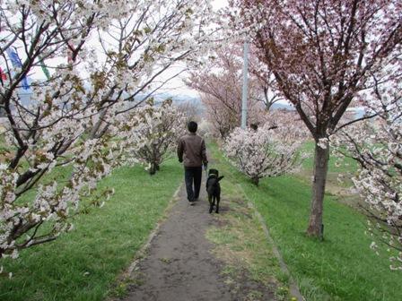 いろんな種類の桜