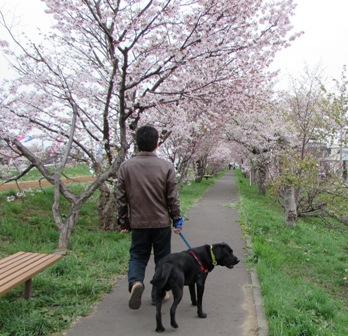 桜のトンネルに