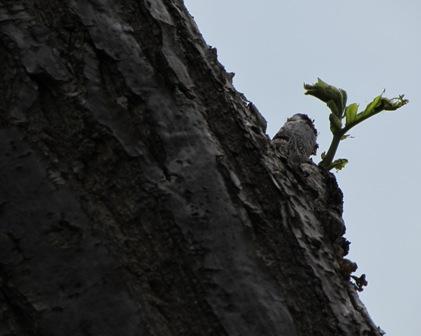 こちらは栗の木