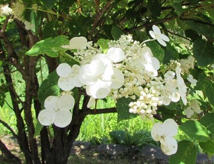 アジサイみたいな花