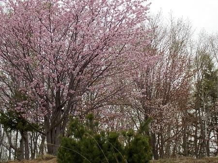 桜 450