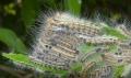 チャドクガ 幼虫