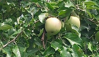 リンゴと柿