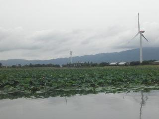 琵琶湖ハス群生地