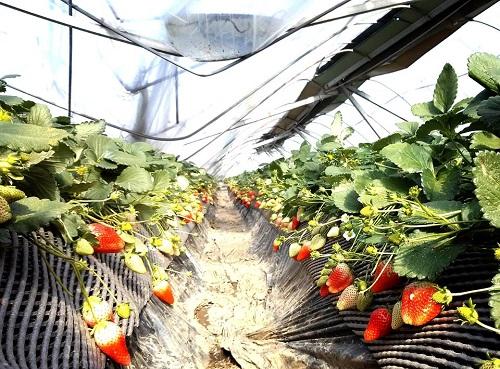 民主党栃木県連≪大雪による農業被害に関する緊急現地調査≫へ!③