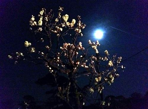 梅の花と月 そして飛行機雲…