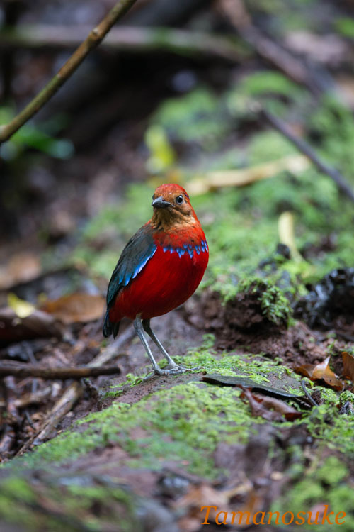 BLUE_BANDED_PITTA