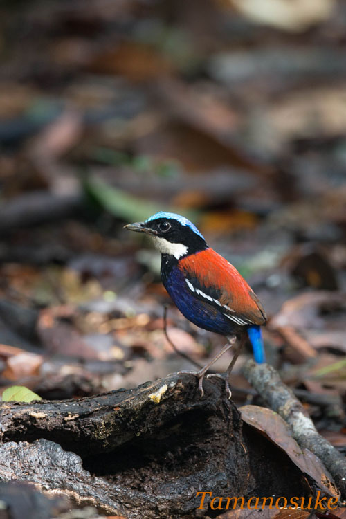 BLUE_HEADED_PITTA
