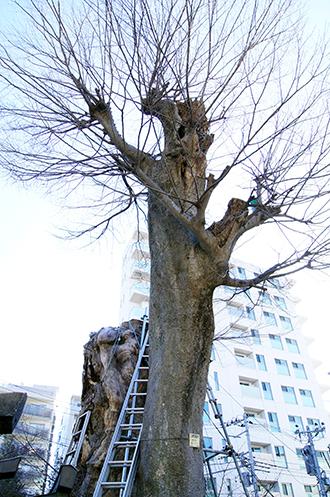 140311東京 矢島稲荷大欅①