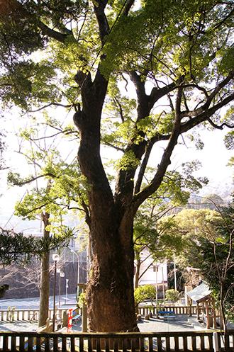 140316神奈川五初神社楠①