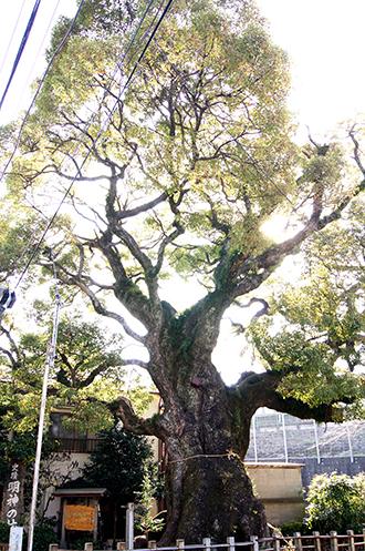140316神奈川 明神の楠②