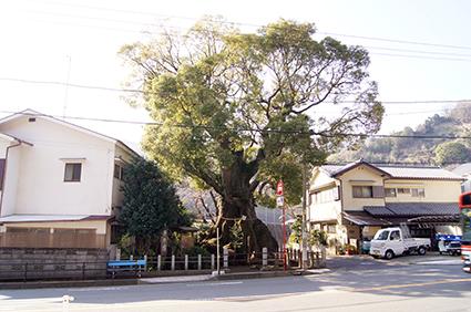 140316神奈川 明神の楠⑥