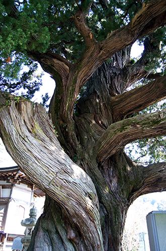 140316神奈川城願寺ビャクシン⑬