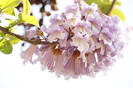 140503松原団地桐の花③