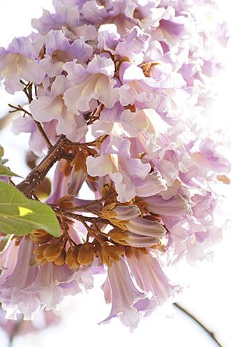 140503松原団地桐の花④