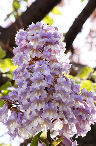 140503松原団地桐の花⑤
