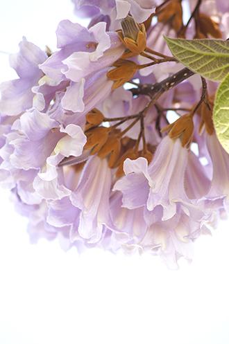 140503松原団地桐の花①