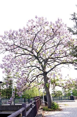 140503松原団地桐の花
