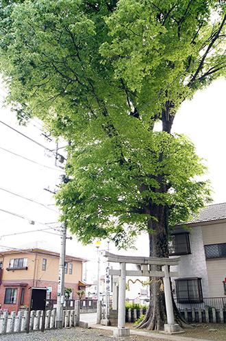 140504茨城 雷電神社欅①