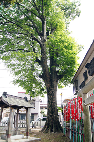 140504茨城 雷電神社欅②