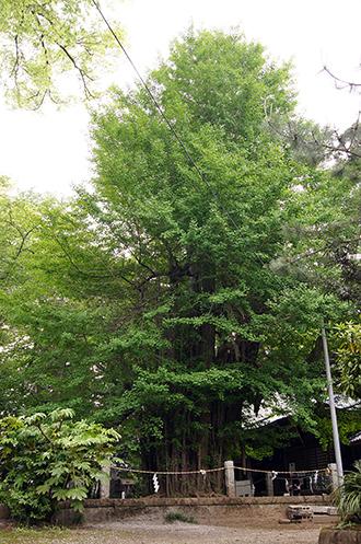 140504栃木 野木神社銀杏①