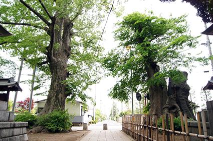 140504茨城 雀神社大欅⑤
