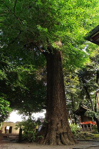 140612東京 葛西神社銀杏②
